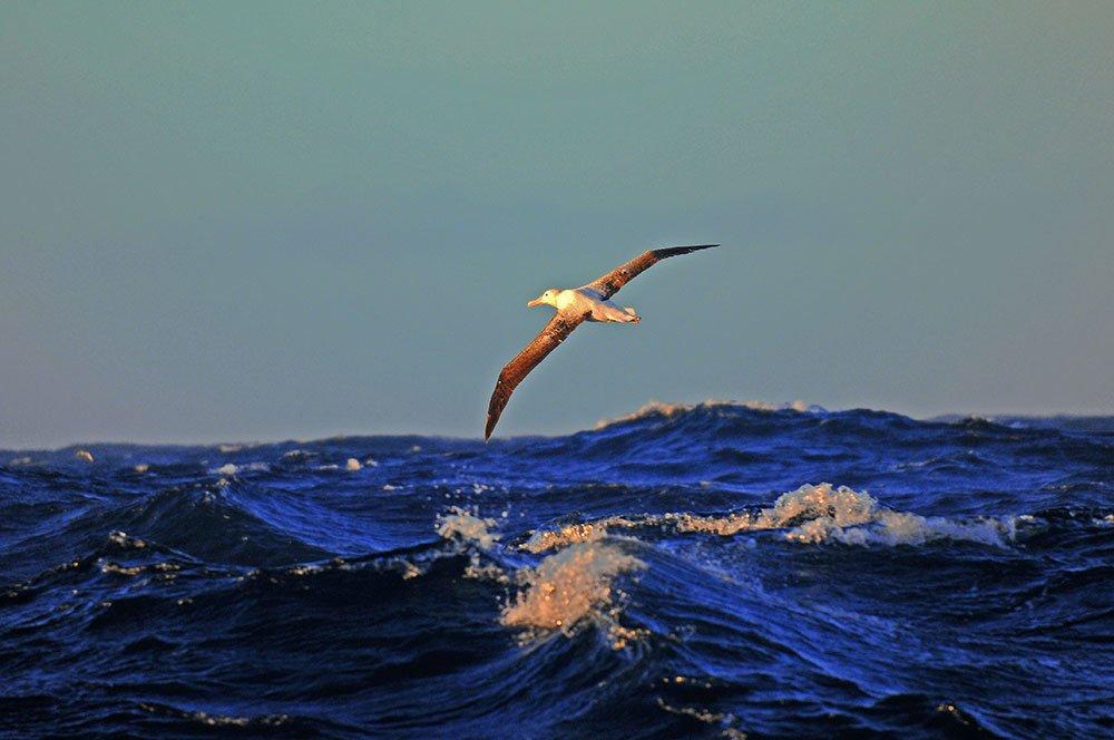 imagem de albatroz- errante curtindo as altas latitudes.