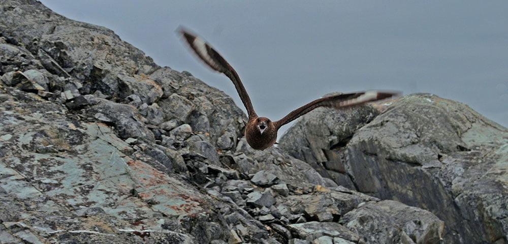 imagem de skua em voo