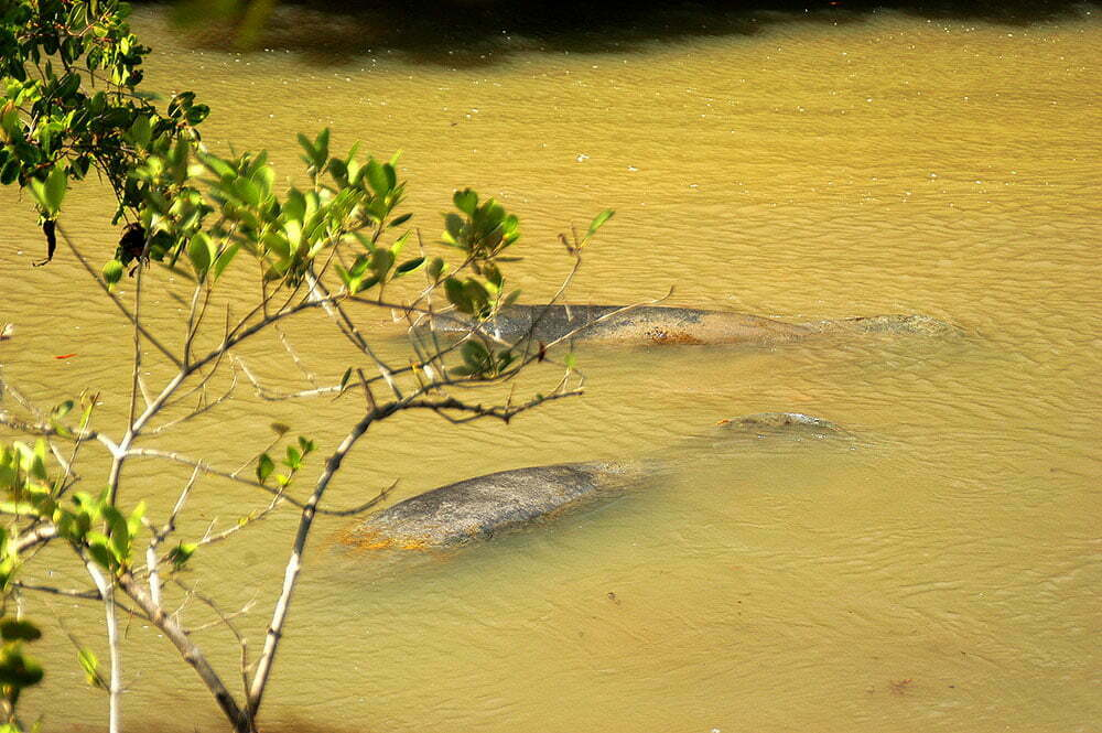 imagem de dois peixes boi no rio