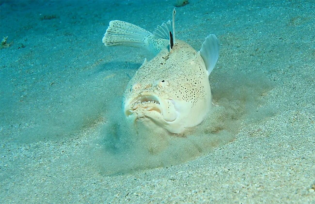 imagem do peixe Stargazer