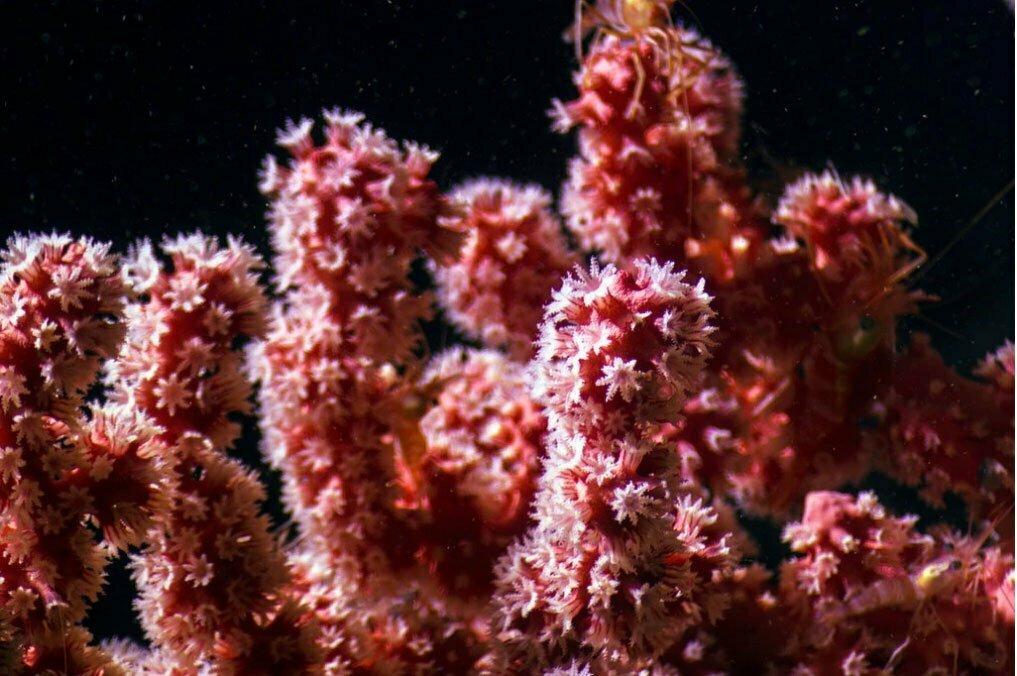 imagem de Corais de águas profundas recém descoberto