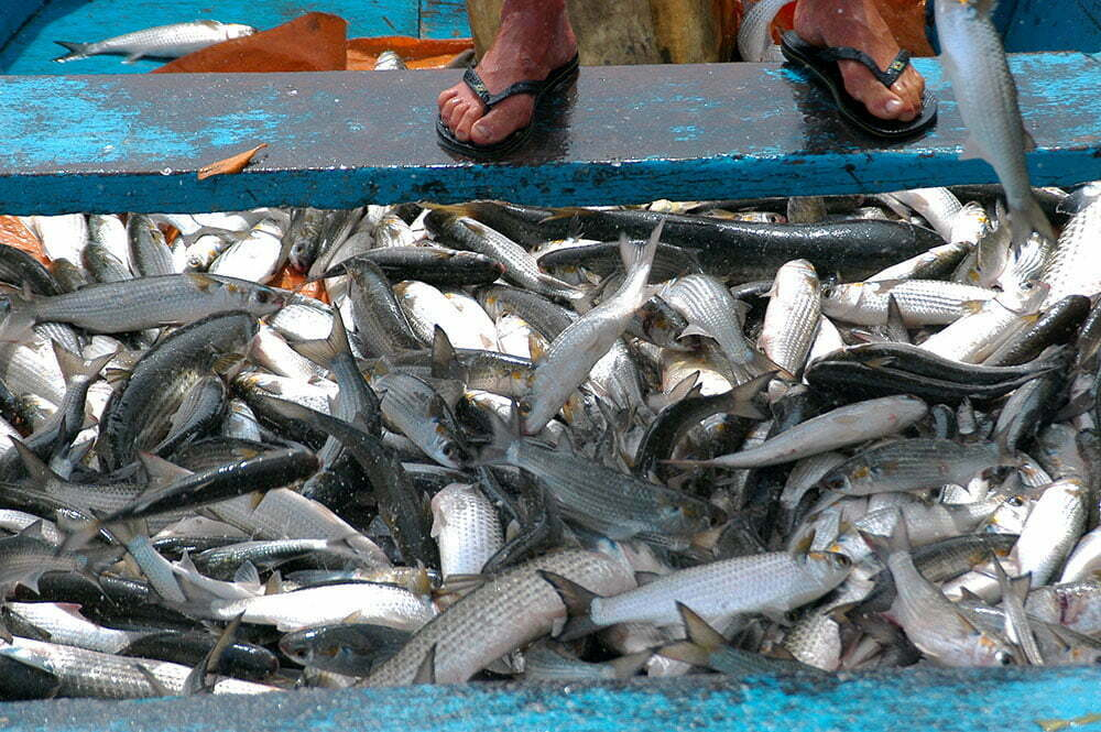 imagem de tainhas pescadas