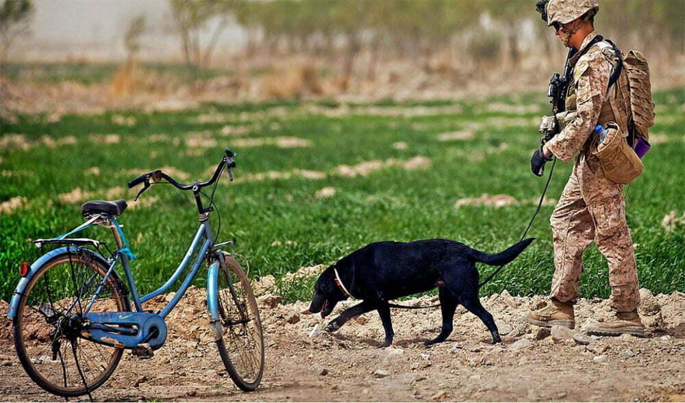 imagem de cachorro farejando minas no Afeganistão