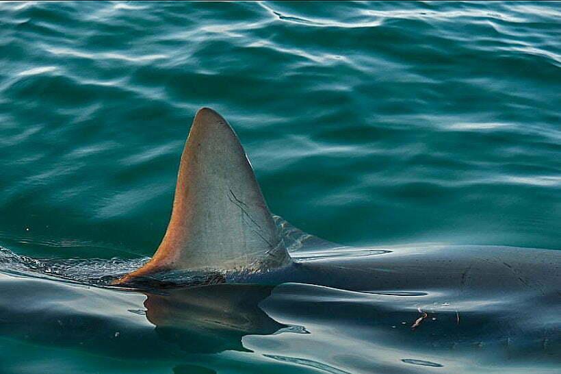 imagemde tubarão no mar sobressaindo a barbatana