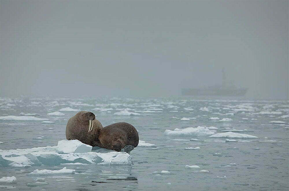 imagem de Morsas se equilibram no fino pedaço de gelo