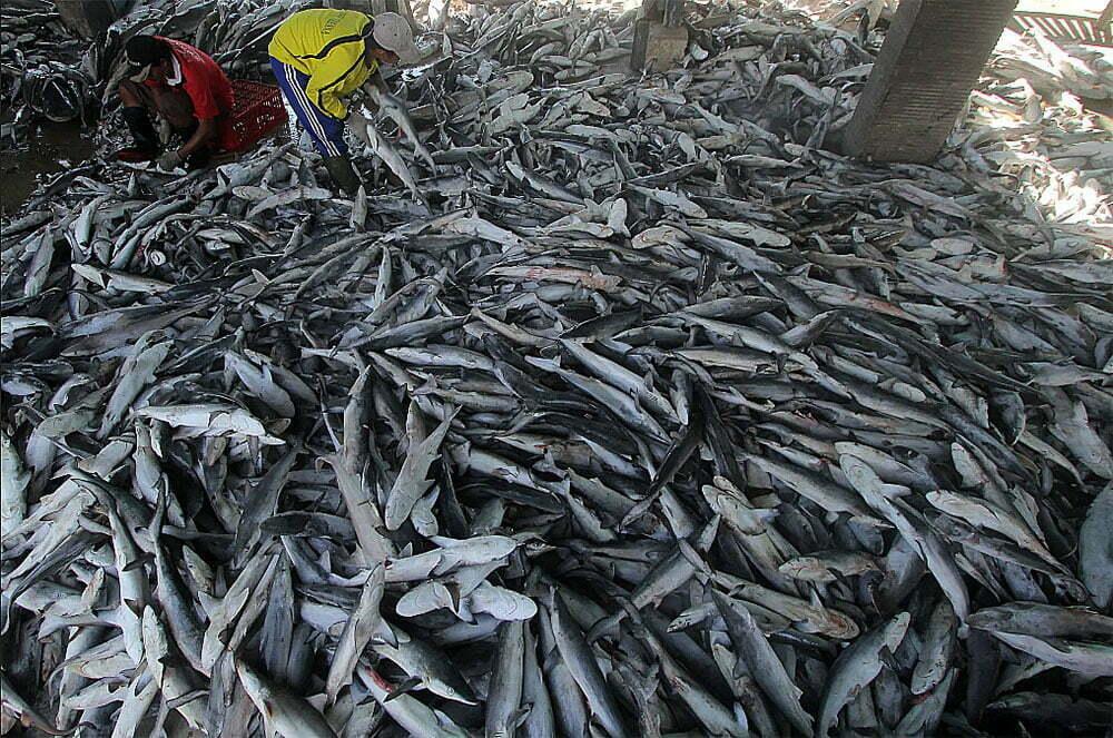 imagem de centenas de tubarões mortos sem barbatanas