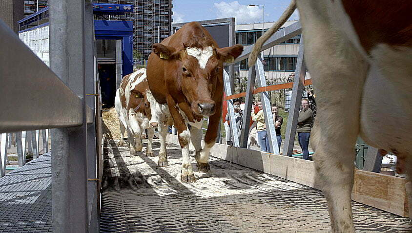 imagem de vacas em fazenda flutuante na holanda