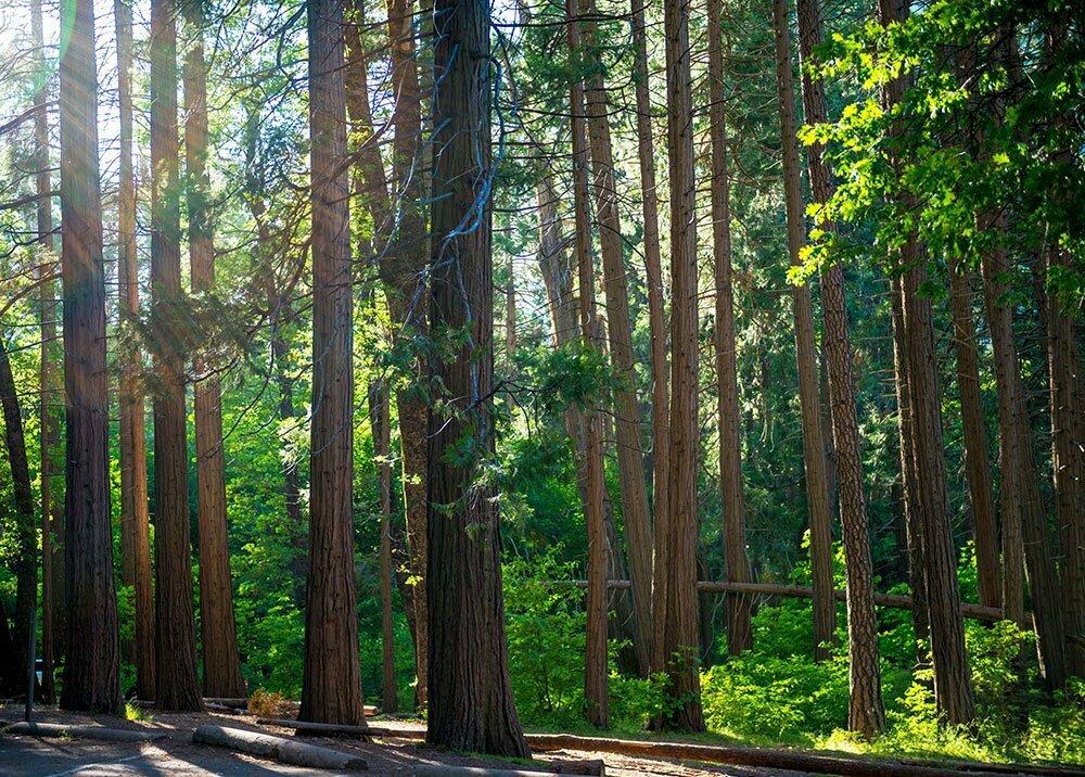 bosque de sequoias num dos Parques Nacionais norte-americanos