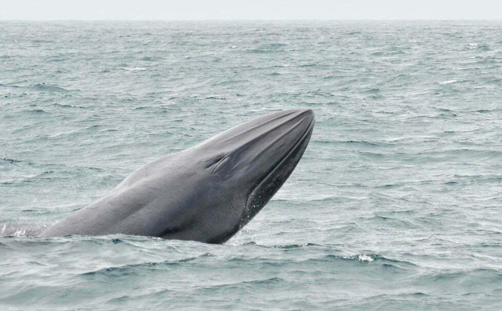 imagem de baleia-de-bryde fotografada em Ilhabela
