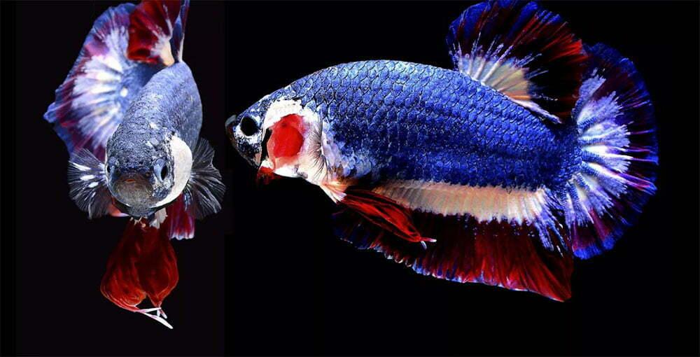 imagem de peixes ornamentais