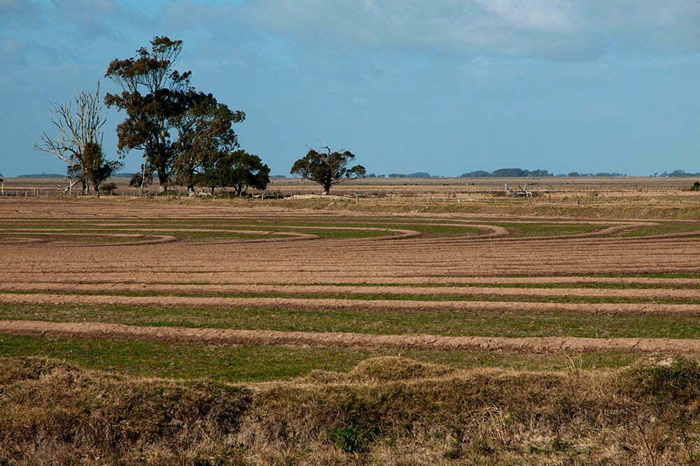 imagem de cultura de arroz no rio grande do sul