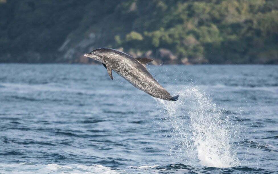 imagem de golfinho-pintado-do-atlântico saltando em Ilhabela