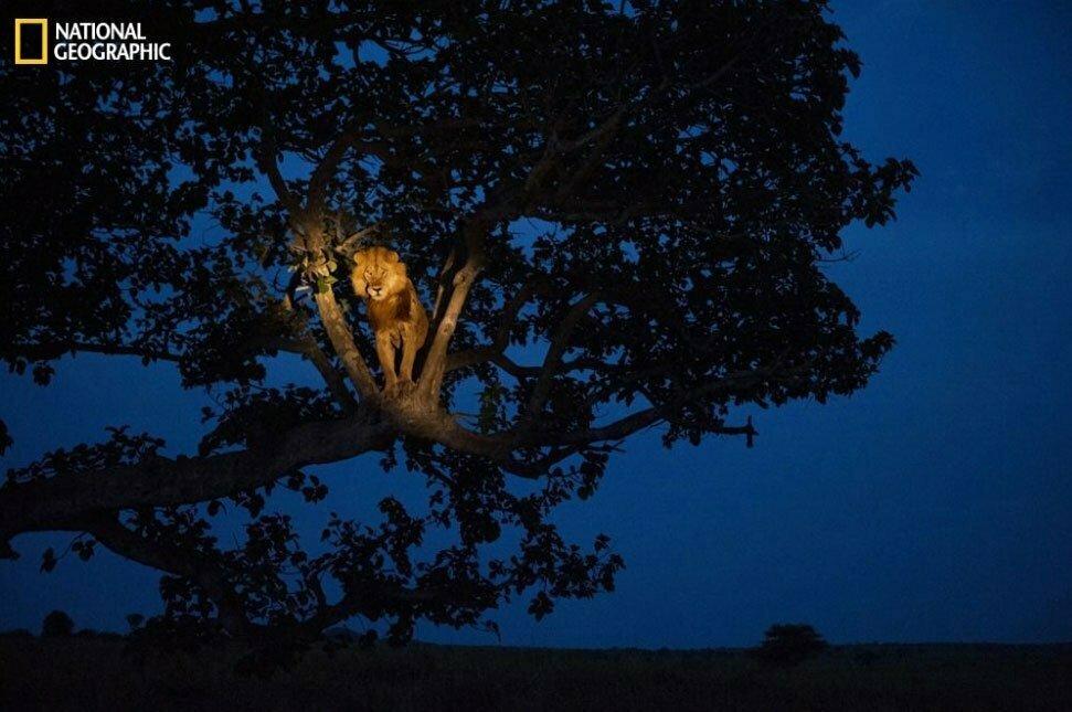 imagem de leão em cima de árvore