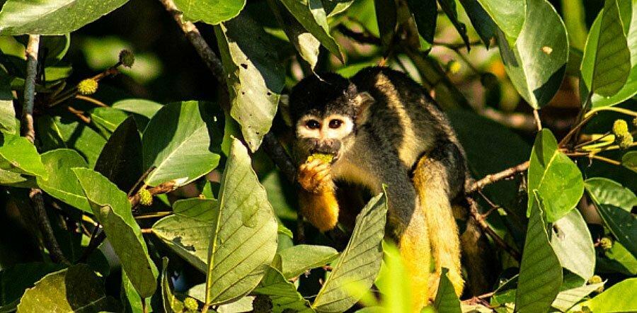 imagem de Macaco-de-cheiro-de-cabeça-preta que pode ser extinto