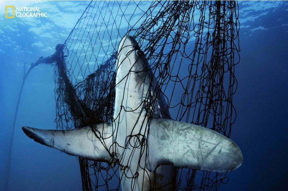 imagem da revista National Geographic mostra tubarão preso em rede