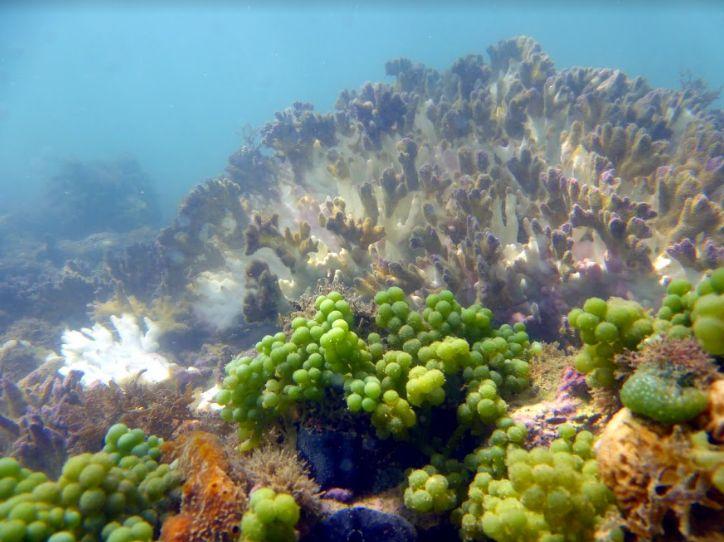 imagem de colônia de corais-de-fogo com branqueamento.