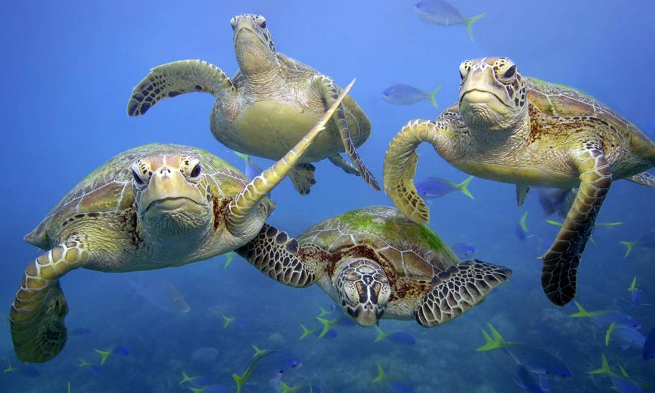 imagem de tartarugas nadando