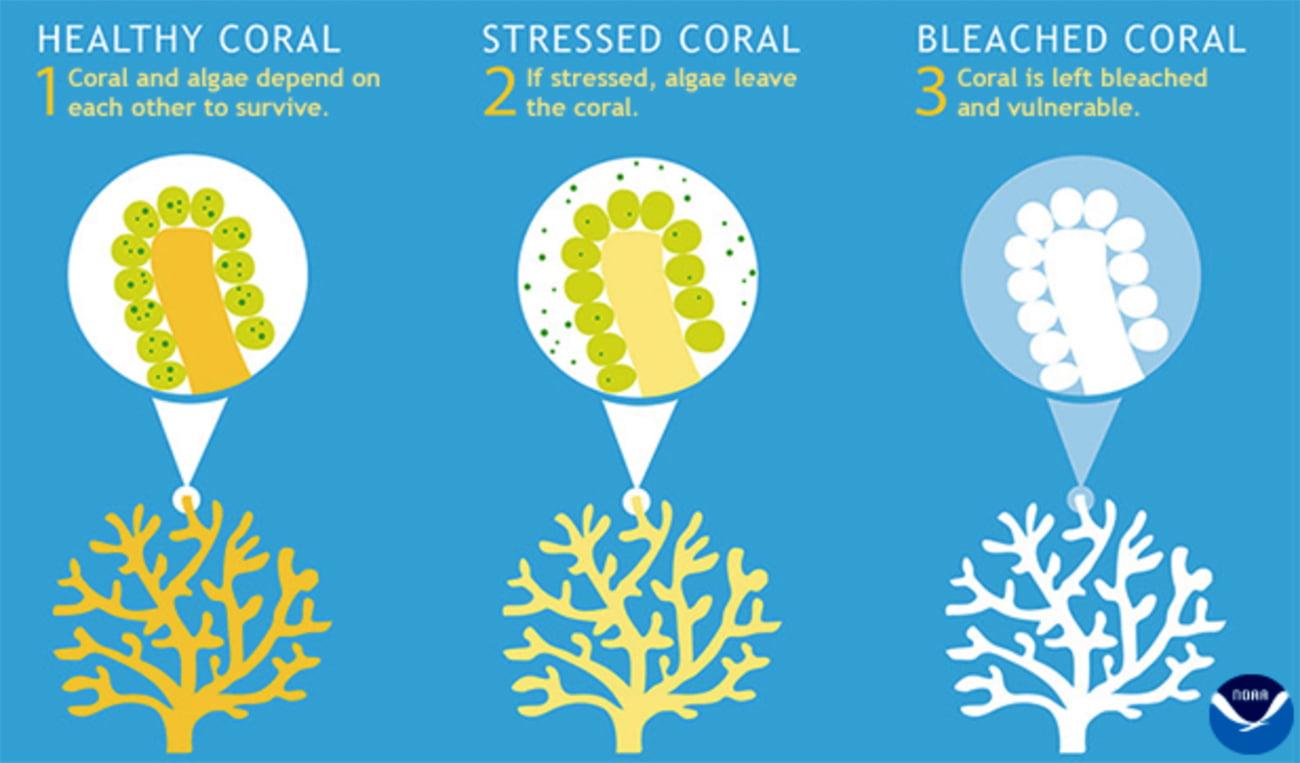infográfico mostra branqueamento de corais