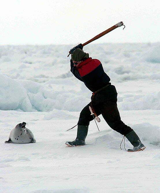imagem de caçador matando foca no canadá