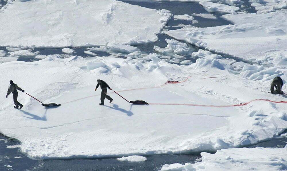 imagem de cacada de focas bebês no canadá