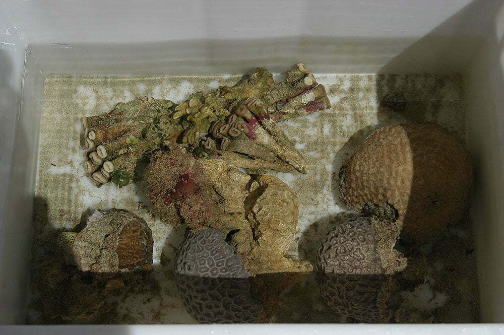 imagem de corais em caixote com água