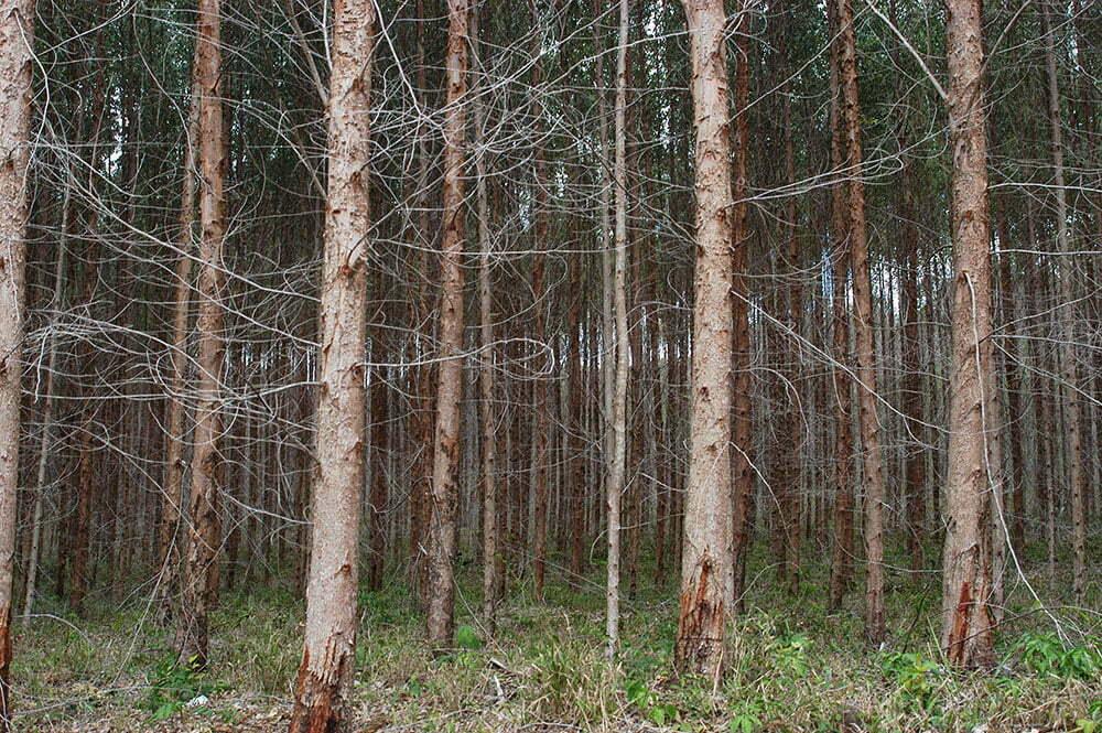 imagem de reflorestamento com pinnus no litoral da Bahia