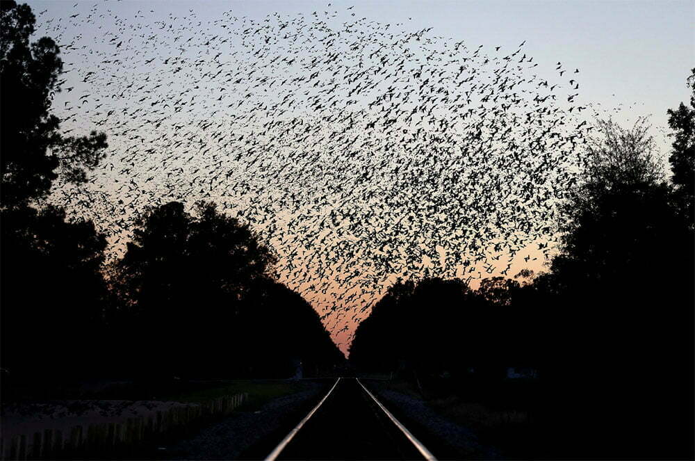 imagem de revoada de aves na América do norte