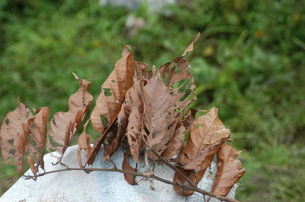 imagem de folha de cacau atacado por praga