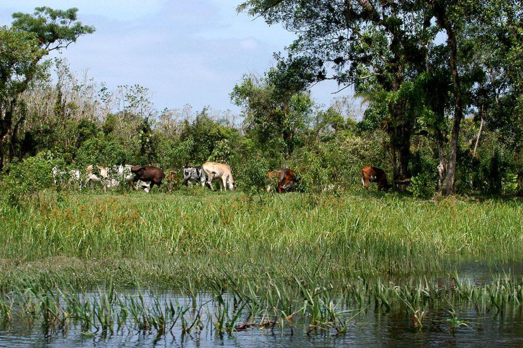 imagem de gado pastando em margem de rio