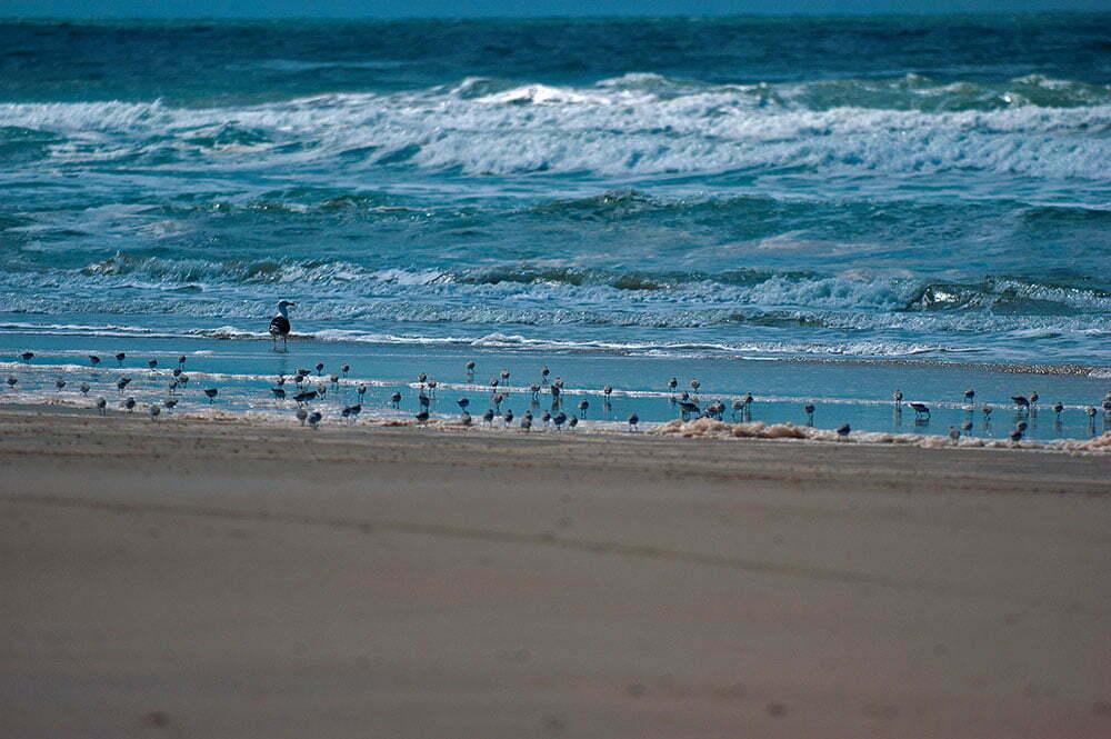 imagem de gaviotão e maçaricos na praia do Cassino