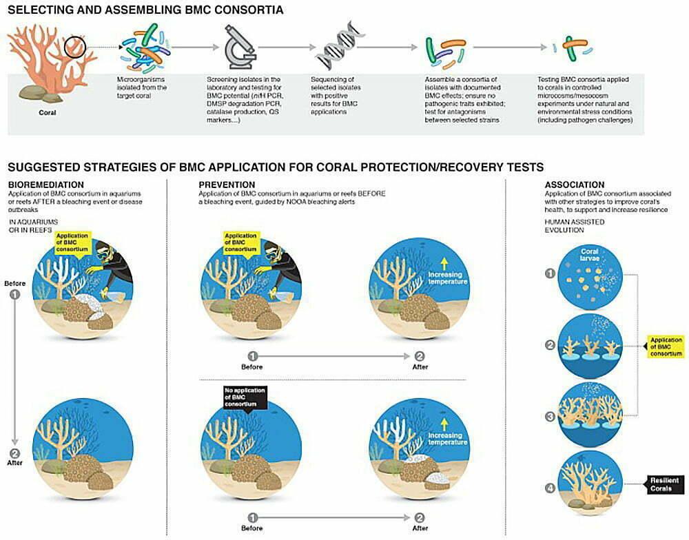 infográfico mostra uso de probióticos para salvar corais
