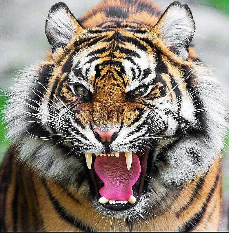imagem de tigre feroz