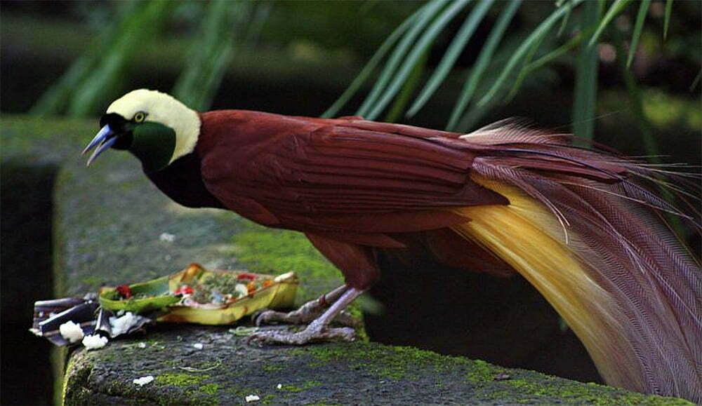 imagem de ave de Papua Nova Guiné