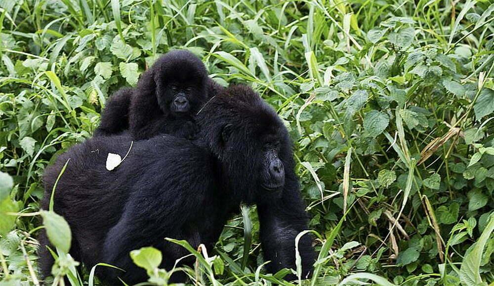 imagem de gorilas do Congo