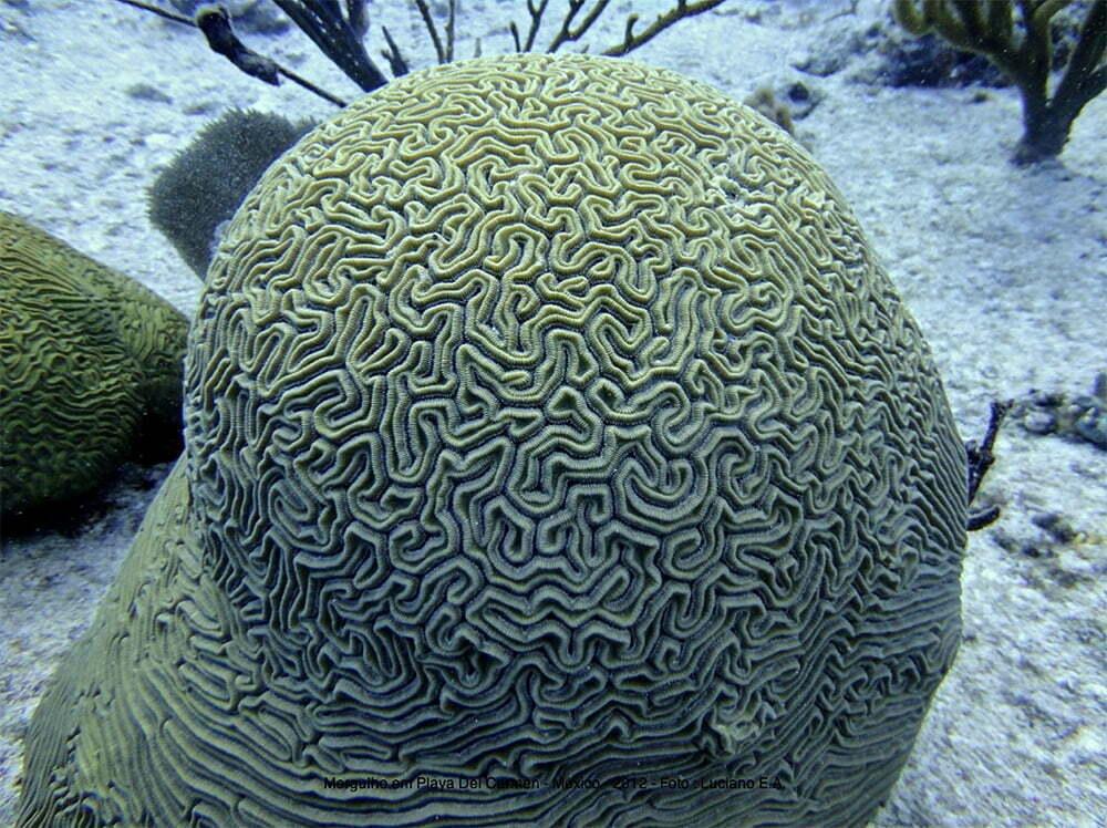 imagem de coral-cerebro