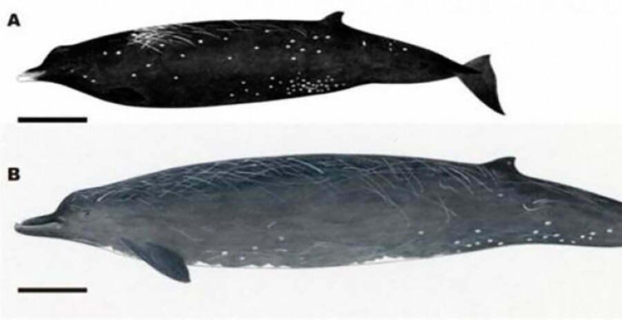 desenha de nova espécie de cetáceo, a baleia negra