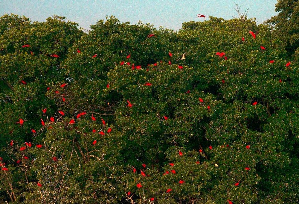 imagem de guarás em copas de arvores do mangue