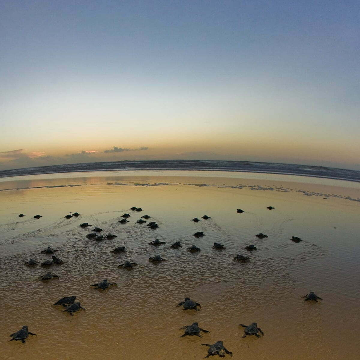imagem de filhotes de tartarugas em praia