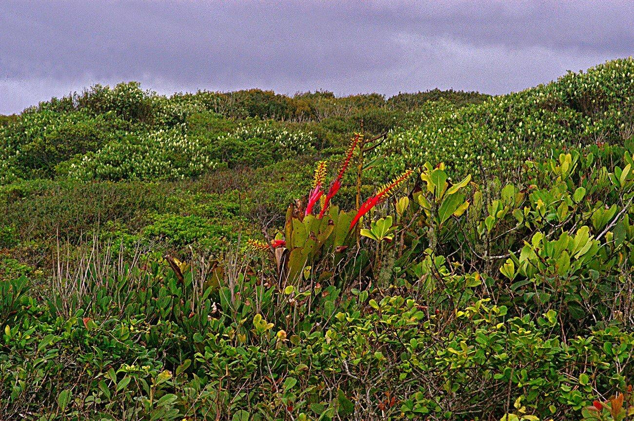 imagem de flores da restinga da ilha do mel, Paraná