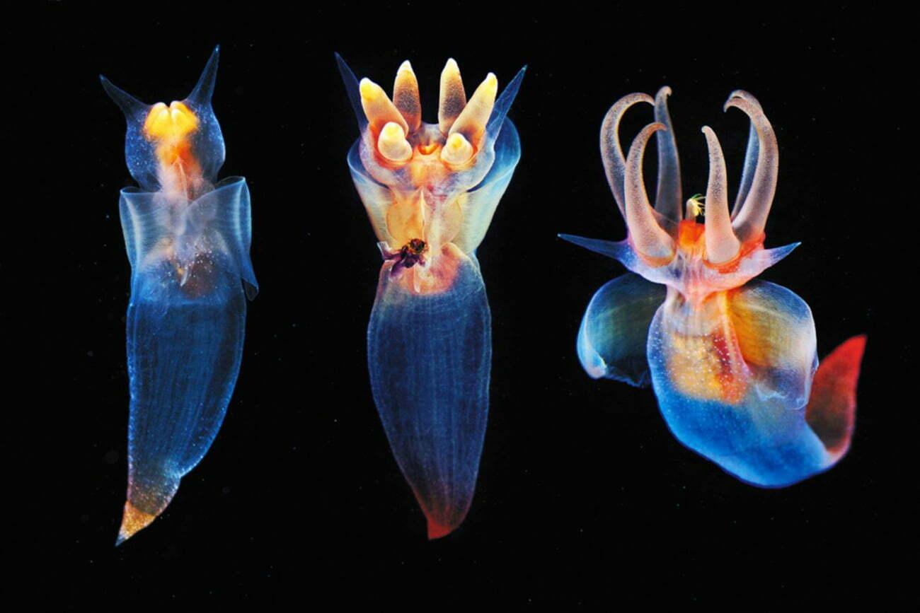 imagem de anjo do mar, mais uma das Criaturas marinhas incomuns