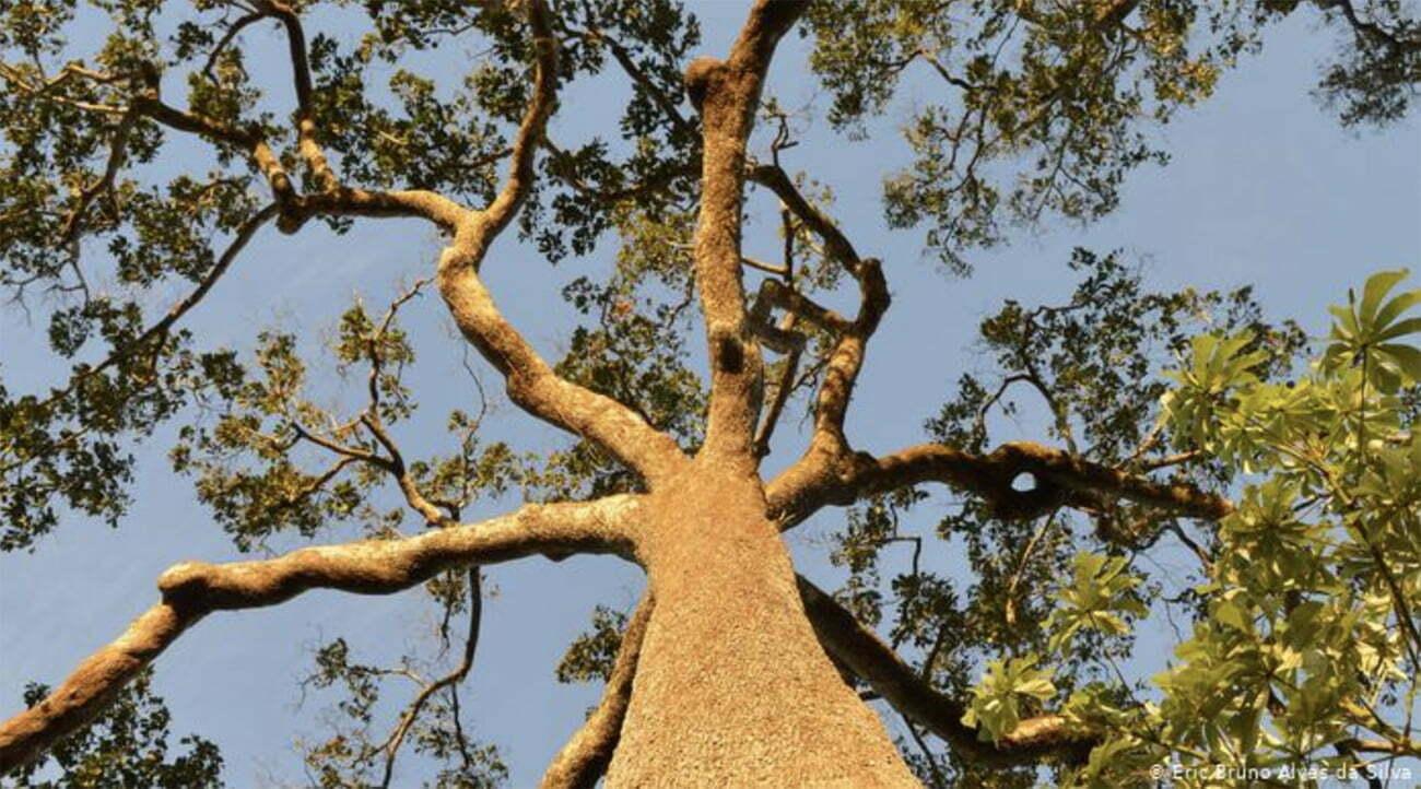 imagem de castanheira do Pará