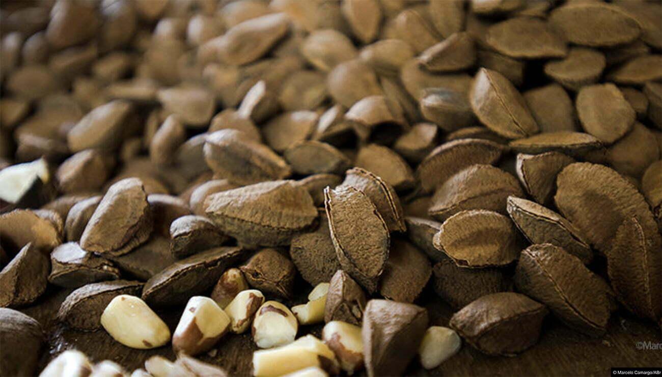 imagem do fruto da castanha do Pará