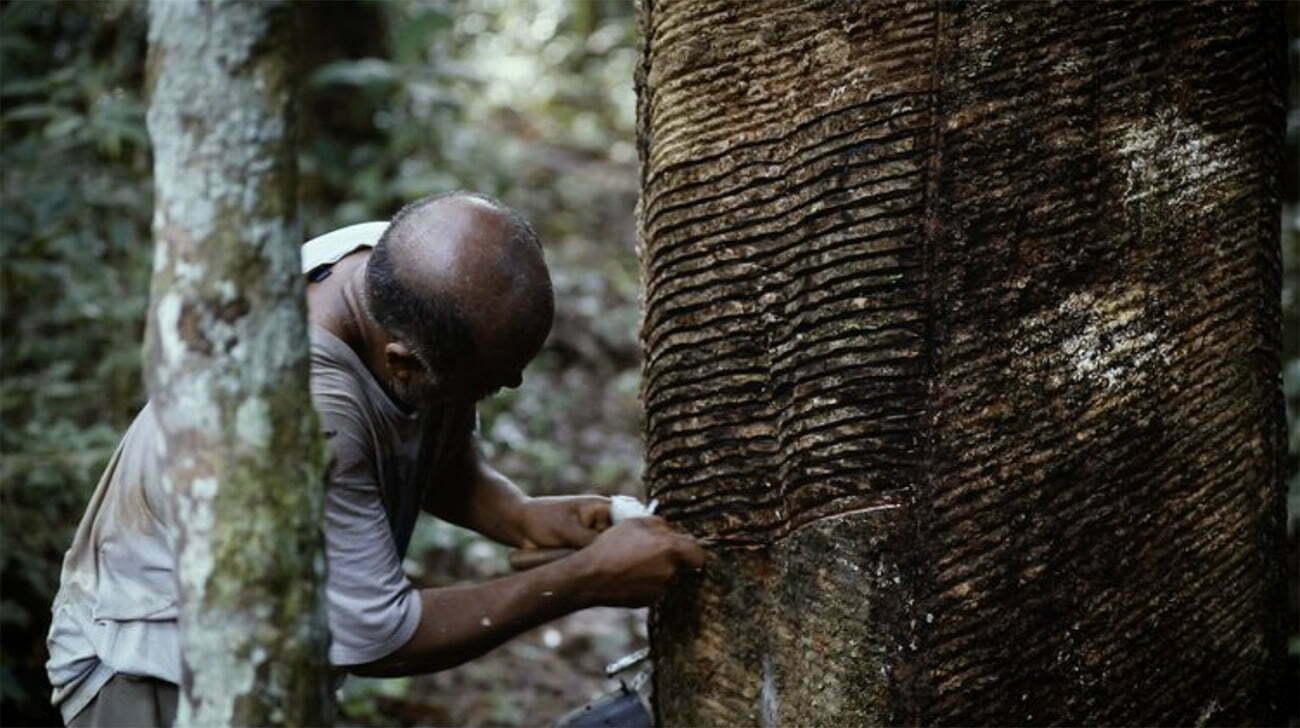 imagem de extração de látex na amazônia