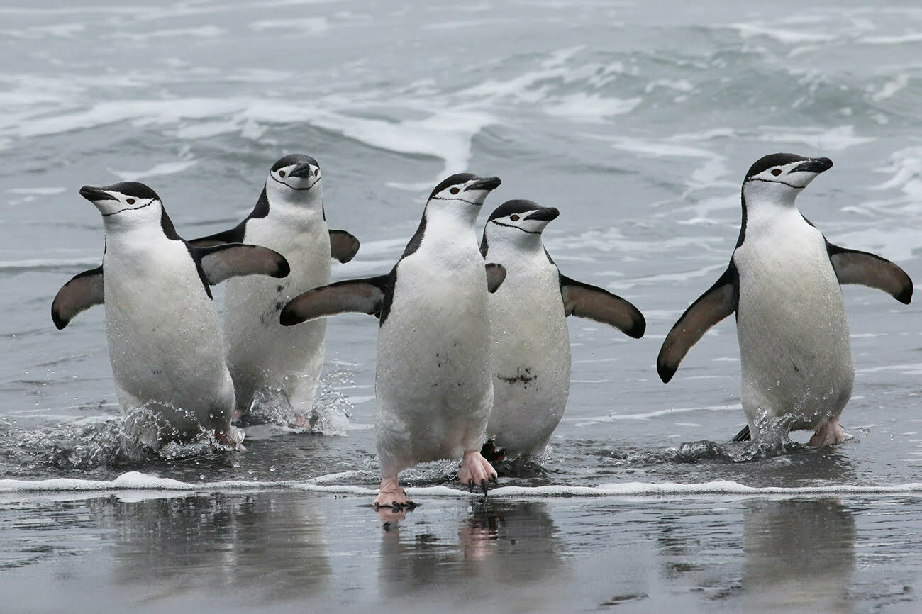 imagem de pinguins de barbicha