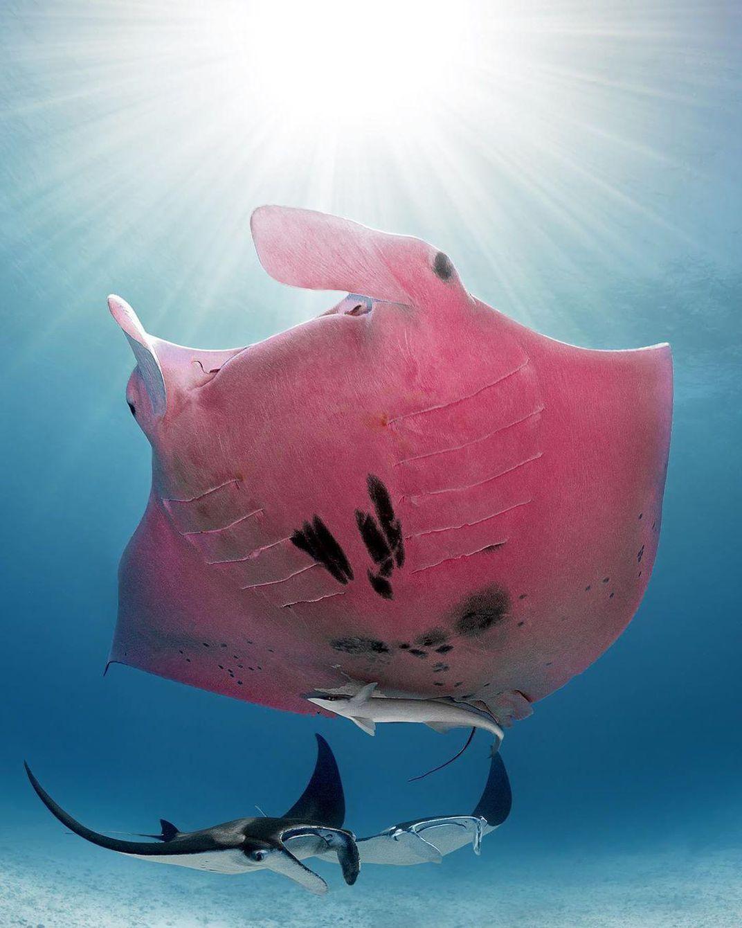 imagem de raia manta cor de rosa, outra das Criaturas marinhas incomuns