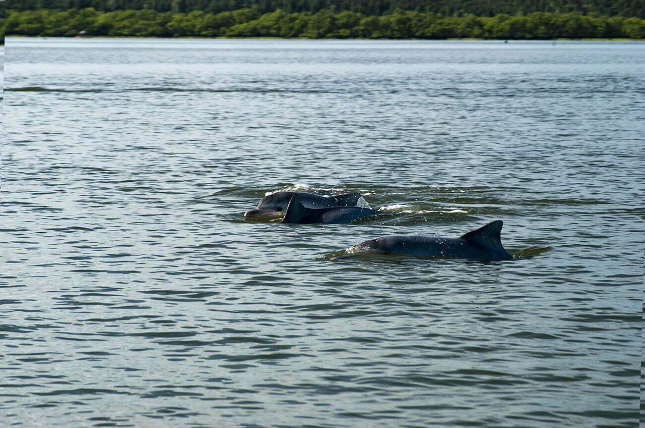 imagem de toninhas na baía de Babitonga