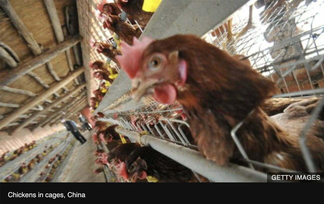 Imagem de frangos em gaiolas na China