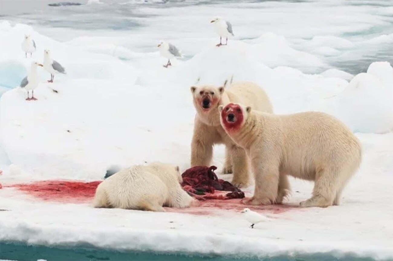 imagem de ursos polares praticando o canibalismo
