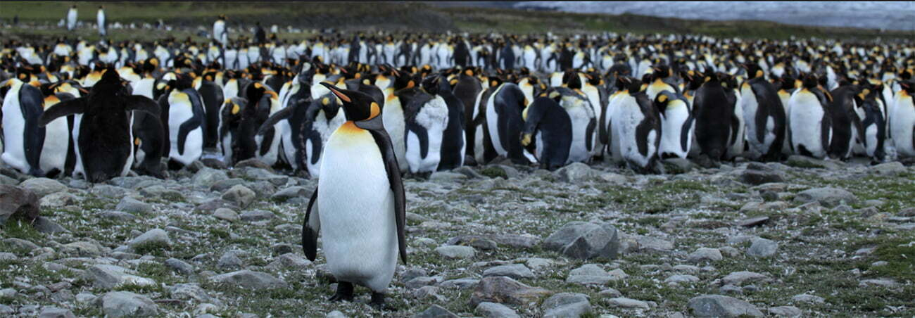imagem de pinguins-rei