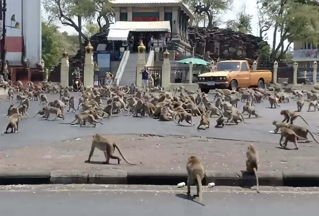 imagem de milhares de macacos nas ruas de Lopburi, Tailândia